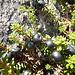 Empetrum nigrum subsp. hermaphroditum