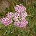 Achillea distans subsp. stricta
