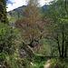 Bäume vertrocknen an der  wasserlosen Suonen