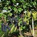 das wird wohl ein gutes Weinjahr. Alle Trauben, die ich gekostet habe waren richtig süß.
