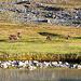 Die kleine Herde streift um die Hütten