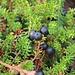 Schwarze Krähenbeere (Empetrum nigrum). Die Früchte sind essbar, jedoch ziemlich geschmacklos im Gegensatz zu Heidelbeeren.