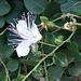 Capparis spinosa L.<br />Capparaceae<br /><br />Cappero comune<br />Caprier épineux<br />Kapernstrauch