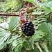 Echte Brombeere (Rubus fructicosus)