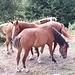 <b>I cavalli dell'Alpe Colma Bella.</b>