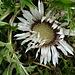 auch die Silberdistel öffnet ihre Blüte