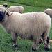 schwarzkopf Schafe