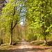 Aufstieg zum Nordmannsturm, der Forstweg ist teils von alten Kastanien gesäumt