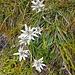 Edelweiss im Lechtal.<br />Hab ich zuvor im Lechtal noch nie angetroffen :-)