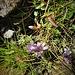 Gentiana ramosa Hegetsgw.<br />Gentianaceae<br /><br />Reichästiger Enzian<br />Gentiane rameuse<br />Genziana ramosa