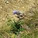 Campanula barbata L.<br />Campanulaceae<br /><br />Bärtige Glockenblume<br />Campanule barbue<br />Campanula barbata