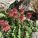 ... finden wir die eben gesichtete Blume im schönen Fruchtzeitstadium