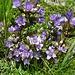 wieder in der Blumenzone 3 (die Blüte unten rechts entspricht einem Feld-Enzian)
