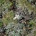 Pied-de-chat dioïque