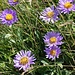 Asters des Alpes