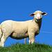 """ein stolzes Schaf am Wegesrand im dicken """"Wollkleid"""""""