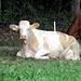 eine bleiche Kuh, leider hornlos