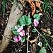 Cyclamen purpurascens Mill.<br />Primulaceae<br /><br />Ciclamino delle Alpi<br />Cyclamen d'Europe<br />Europäisches Alpenvelichen, Gemeine Ziklame, Erdscheibe