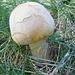Wer kennt diesen lustigen Pilz? Ich habe mal in meinem Pilzbuch gaschaut und habe den Wiesenchampignon  (Agaricus campestris) gefunden, bin mir aber nicht 100% sicher.