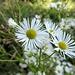 Blumen am Wegesrand. Gibt es langstielige Gänseblümchen?