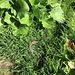 hier im Gras sonnt sich eine Rarität - eine Kreuzotter