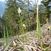 Die Segge blüht jetzt im Frühling in den Kalkmagerrasen
