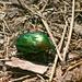 Der Grosse Rosenkäfer (Protaetia aeruginosa), auch Grosser Goldkäfer genannt. Er gilt als grösster und seltenster Rosenkäfer in Mitteleuropa.