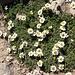 Auf 3500 m Höhe zwischen den beiden Gipfeln wachsen zahlreiche Pflanzen. So wie hier Gänseblümchen. Marienkäfer schwirren durch die Luft.