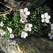 Alpen-Mannsschild (Androsace alpina)