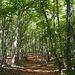 Il bellissimo bosco di faggi subito dopo il Rifugio Alippi