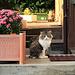 ein Katze wartet geduldig vor der Haustüre bis das Herrchen ihr die Türe aufmacht.