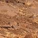 Ödlandschrecken