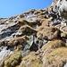 ...und in einer äußerst steilen Grasrinne (hier von unten fotografiert) auf guten, aber weit auseinanderliegenden Tritten wieder auf den Grat hinaufgeklettert. Für diese Stelle ist ein Pickel kein Luxus!