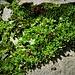 Cerastium pedunculatum Gaudin<br />Caryophillaceae<br /><br />Peverina delle morene<br />Céraiste à longs pédouncules<br />Langstieliges Hornkraut
