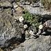 Leucanthemopsis alpina (L.) Heywood<br />Asteraceae<br /><br />Margherita alpinba<br />Marguerite ders Alpes<br />Alpenmargerite
