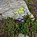 Campanula scheuchzeri Vill.<br />Campanulaceae<br /><br />Campanula di Scheuchzer<br />Campanule de Scheuchzer, Campanule pauciflore<br />Scheuchzers Glockenblume
