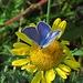 Schön blau der Bläuling / bello blu