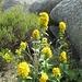 Colorate fioriture tra i blocchi di granito.