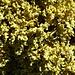 schöne gelbe Flechten beim Abstieg von der Hochkarspitze