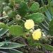 <b>Opuntia ficus-indica.</b>