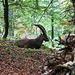 Steinbock im Wald