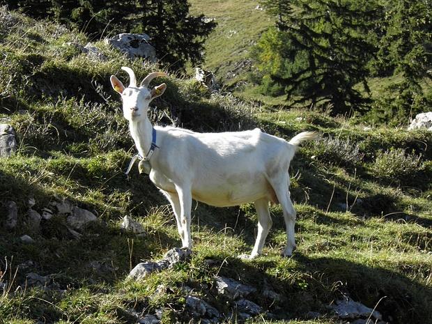 """diese Ziege posiert souverän, als hätte sie gerade den Titel """"Miss Leitzachtal"""" gewonnen..."""