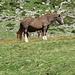 Cavalli al Pascolo all'Alpe di Quarnei.