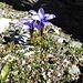 Mont Cenis-Glockenblume am Glütschöreli