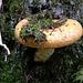 Pilz im Grosswald. Höchstwahrscheinlich handelt es sich um einen Edel-Reizker (Lactarius deliciosus).