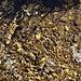 Goldnuggets im Bächlein