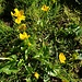 Zweiter Frühling für die Sumpfdotterblumen