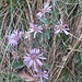 Aster amellus L.<br />Asteraceae<br /><br />Astro di Virgilio, Amello<br />Aster amelle<br />Berg Aster