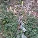 Verbascum nigrum L.<br />Scrophulariaceae<br /><br />Verbasco nero<br />Moléne noire<br />Dunkles Wollkraut, Dunkle Königskerze