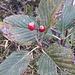 Sorbus aria (L.) Crantz<br />Rosaceae<br /><br />Farinaccio, Sorbo montano<br />Alisier blanc, Alouchier, Allier<br />Echter Mehlbeerbaum